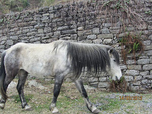 Himalayan mountain horse